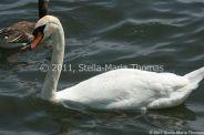 swans-003_5796249359_o