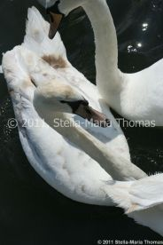 swans-004_5796807944_o