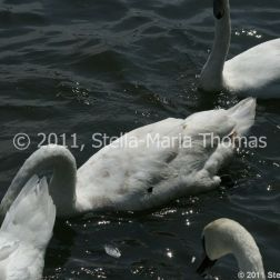 swans-005_5796808194_o