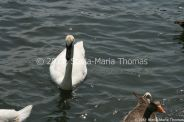 swans-006_5796250103_o