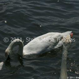 swans-007_5796250397_o