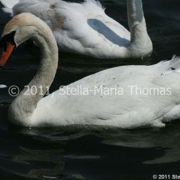 swans-008_5796250619_o