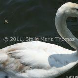 swans-009_5796809168_o