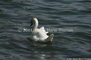 swans-010_5796252077_o