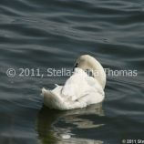 swans-011_5796810584_o