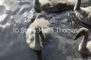 swans-and-cygnets-july-002_5920831315_o