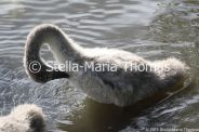 swans-and-cygnets-july-004_5921397174_o