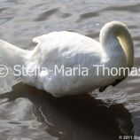 swans-and-cygnets-july-005_5921397336_o