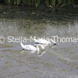 swans-and-cygnets-july-009_5921398248_o