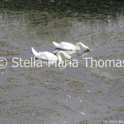 swans-and-cygnets-july-010_5921398482_o
