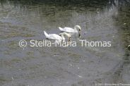 swans-and-cygnets-july-011_5920833127_o