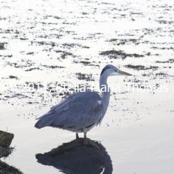 willen-lake-december---heron-002_6447463293_o