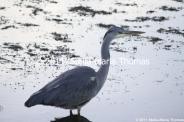 willen-lake-december---heron-005_6447477071_o