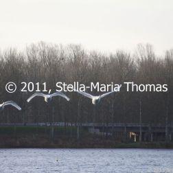 willen-lake-december---swans-001_6447465423_o