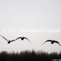 willen-lake-december---swans-002_6447466085_o