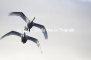 willen-lake-december---swans-004_6447467255_o