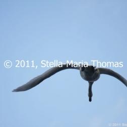 willen-lake-december---swans-005_6447467751_o
