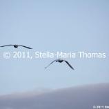 willen-lake-december---swans-006_6447468301_o