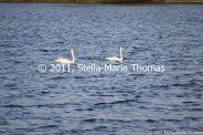 willen-lake-december---swans-007_6447469009_o