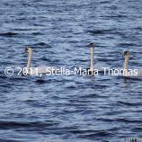 willen-lake-december---swans-008_6447469635_o