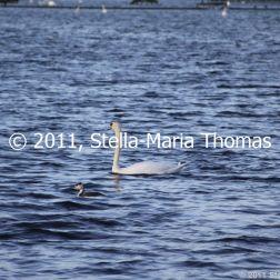 willen-lake-december---swans-009_6447470315_o