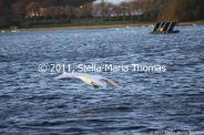 willen-lake-december---swans-010_6447470953_o