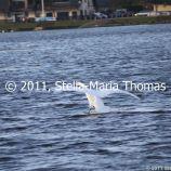 willen-lake-december---swans-011_6447471811_o