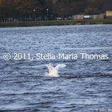 willen-lake-december---swans-013_6447473249_o