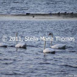 willen-lake-december---swans-014_6447474103_o