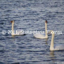 willen-lake-december---swans-015_6447479785_o
