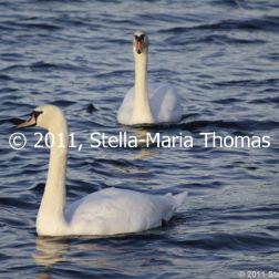 willen-lake-december---swans-016_6447480461_o