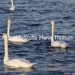 willen-lake-december---swans-017_6447481205_o