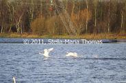 willen-lake-december---swans-018_6447482719_o