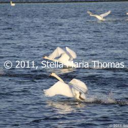 willen-lake-december---swans-019_6447483399_o