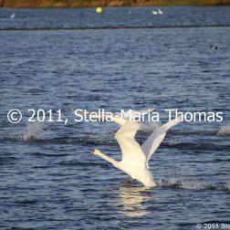 willen-lake-december---swans-020_6447483997_o