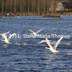 willen-lake-december---swans-021_6447484753_o