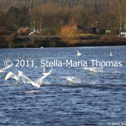 willen-lake-december---swans-022_6447485783_o