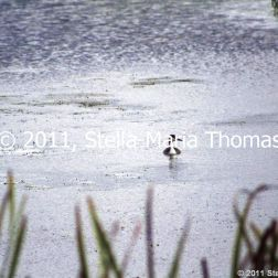 willen-lake-flora-and-fauna-002_6171055431_o