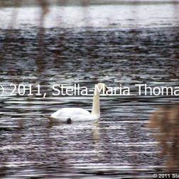 willen-lake-swans-001_6607641965_o