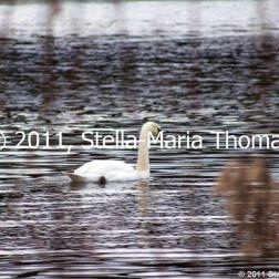willen-lake-swans-002_6607642693_o