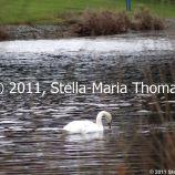 willen-lake-swans-003_6607643385_o