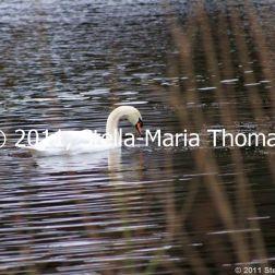 willen-lake-swans-004_6607644107_o