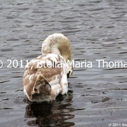 willen-lake-swans-005_6607644705_o