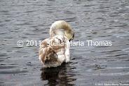 willen-lake-swans-006_6607645269_o