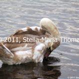 willen-lake-swans-007_6607646441_o