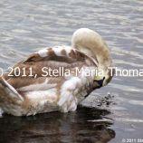 willen-lake-swans-008_6607645843_o