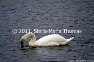 willen-lake-swans-009_6607647169_o