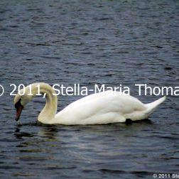 willen-lake-swans-010_6607647753_o