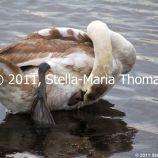 willen-lake-swans-011_6607648279_o