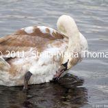 willen-lake-swans-012_6607648795_o